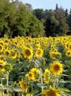 Bellissimo campo di girasoli fiorito